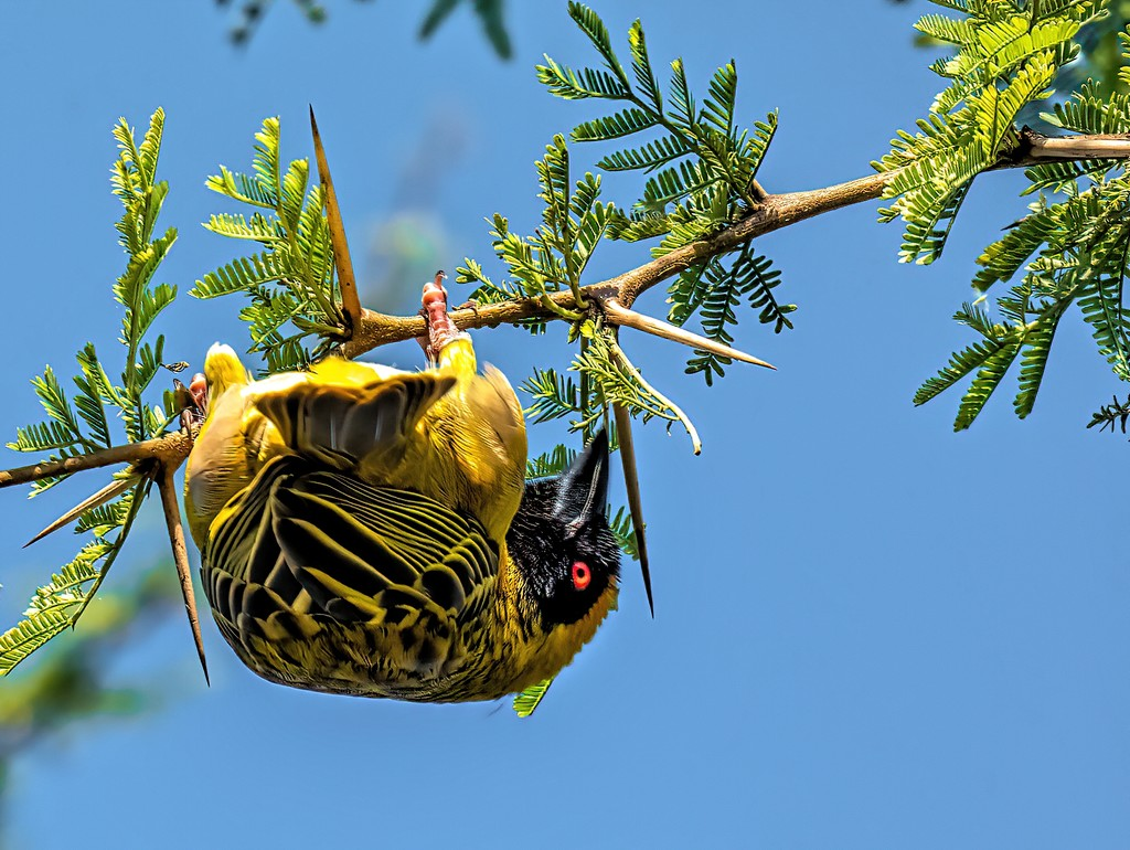 Masked Weaver by ludwigsdiana