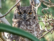 26th Jun 2020 - Spotted Eagle Owl