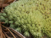26th Jun 2020 - Zooming in on Cushion Moss...