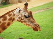 26th Jun 2020 - Giraffe