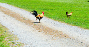 26th Jun 2020 - Why did the chicken cross the road?