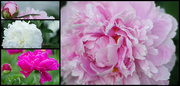 27th Jun 2020 - My Peonies are Open!