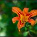 Tiger Lily by hjbenson