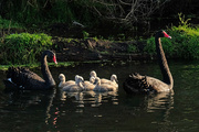 27th Jun 2020 -  Early morning for the black swan family
