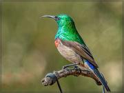 27th Jun 2020 - Double collared Sunbird