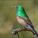 Double collared Sunbird