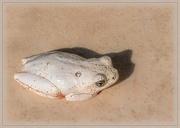 27th Jun 2020 - Reed Frog