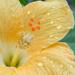 petals, droplets