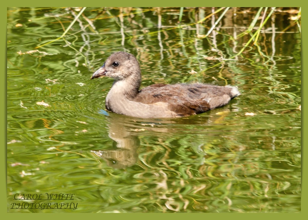 Young Coot by carolmw