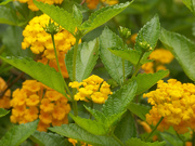 27th Jun 2020 - Golden Lantana...