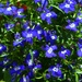 Blue spotty lobelia