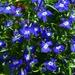 Blue spotty lobelia