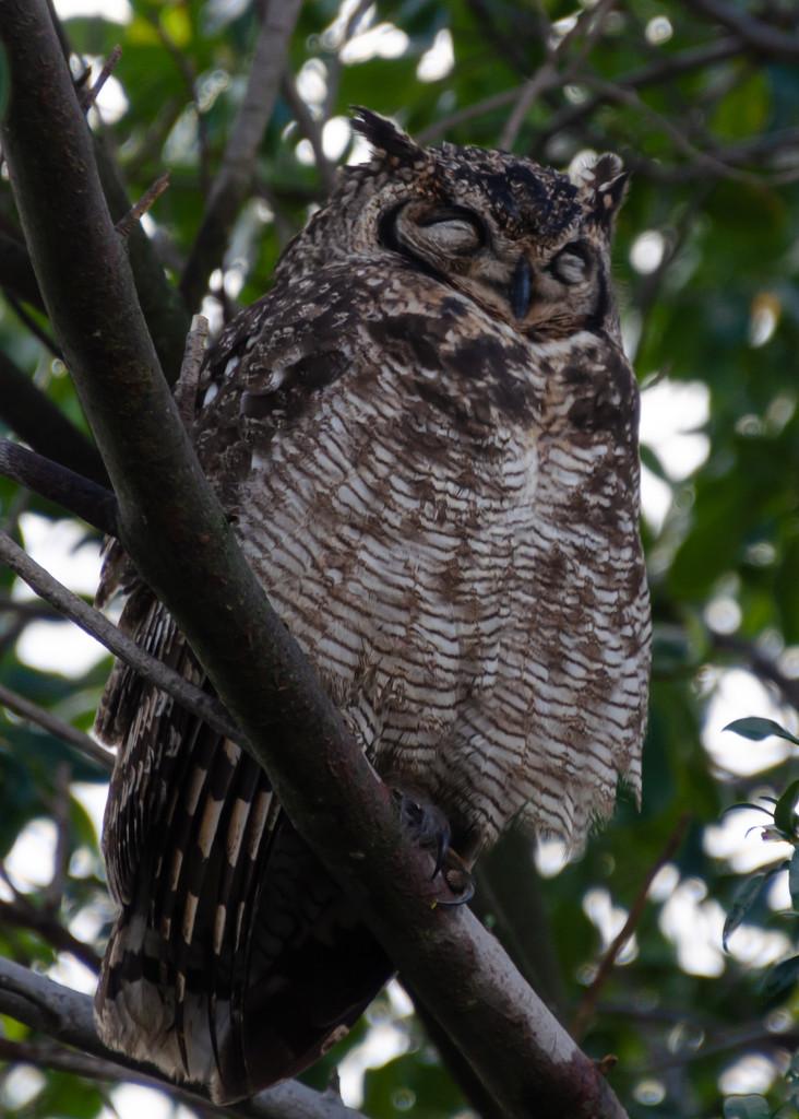 Sleeping Owl by salza