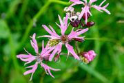 27th Jun 2020 - Ragged Robin Day #11