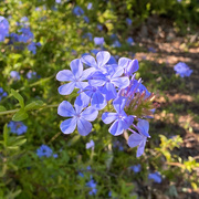27th Jun 2020 - Plumbago on my morning walk