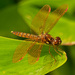 Eastern Amberwing dragonfly by rminer
