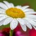 Dew on the Daisy by kvphoto