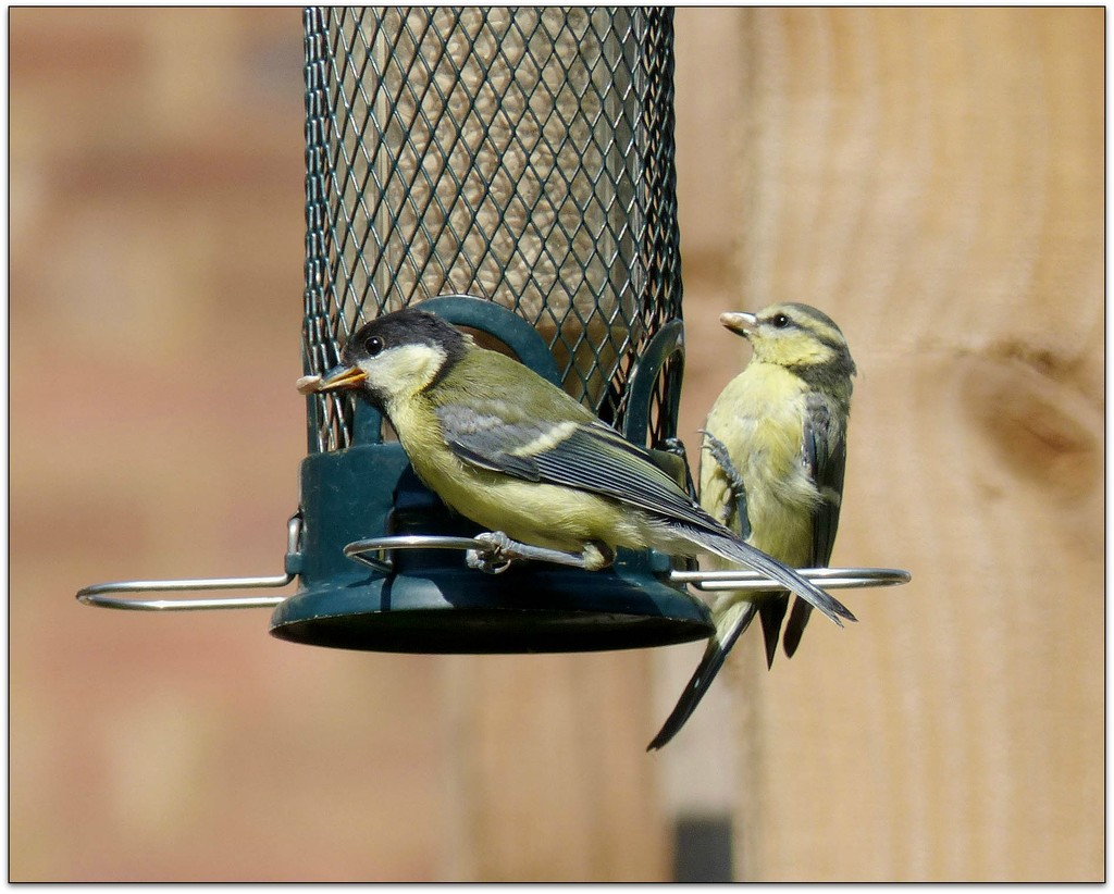 Blue Tit and Great Tit sharing the dinner table by judithdeacon