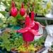 June 24th Fuchsia