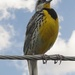 One Happy Meadowlark