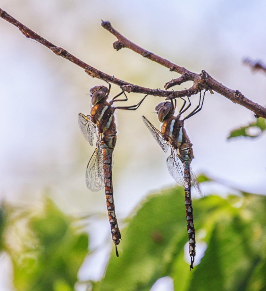 dragonflies by aecasey