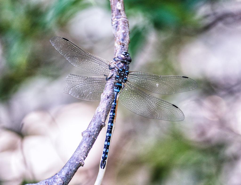 blue eyed darner by aecasey