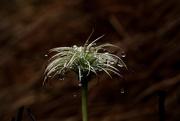 28th Jun 2020 - Clematis seedhead