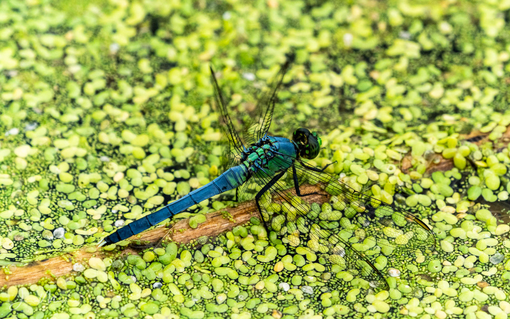 Dragonfly by jae_at_wits_end