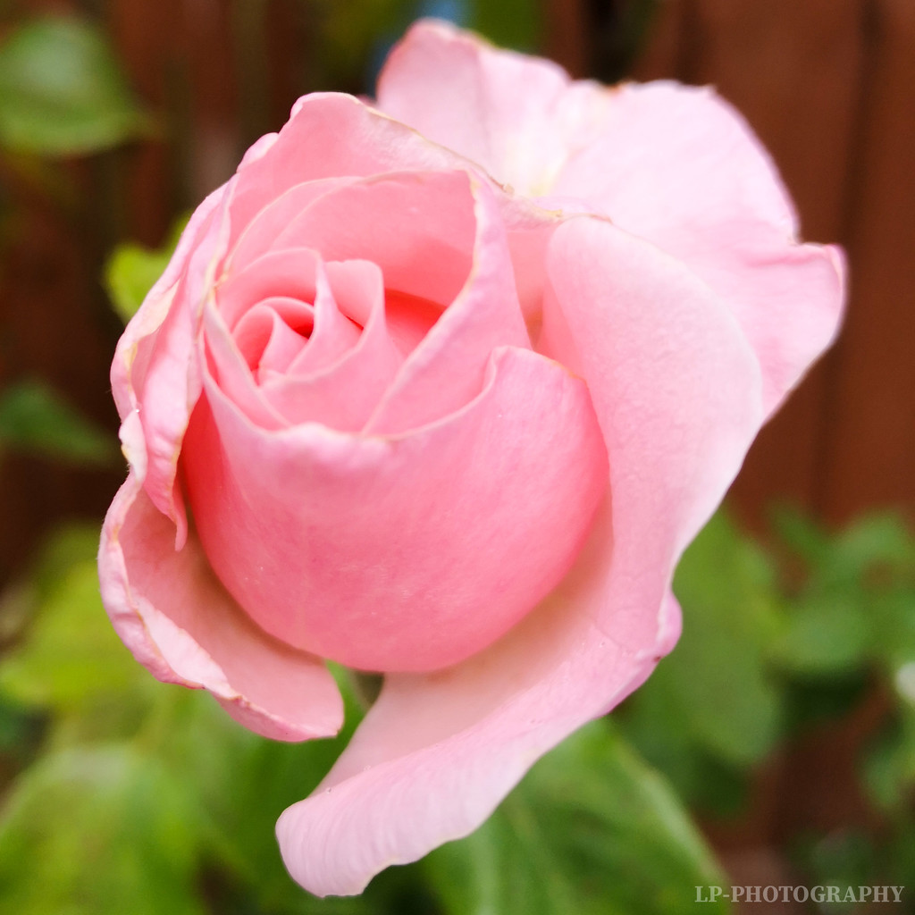 A Pink Rose by tiredpanda