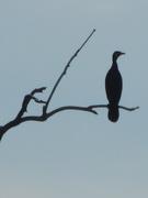 27th Jun 2020 - Cormorant silhouette
