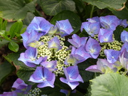 28th Jun 2020 - Hydrangea Macrophylla Blue