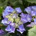 Hydrangea Macrophylla Blue by susiemc