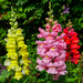 Snapdragon. by tonygig