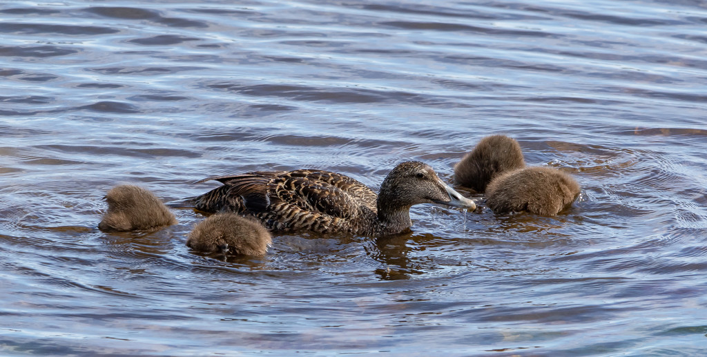 Headless Ducklings by lifeat60degrees
