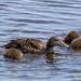 Headless Ducklings