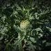 Green Grows the Artichoke