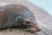 29th Jun 2020 - New Zealand fur seal