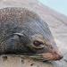 New Zealand fur seal by maureenpp