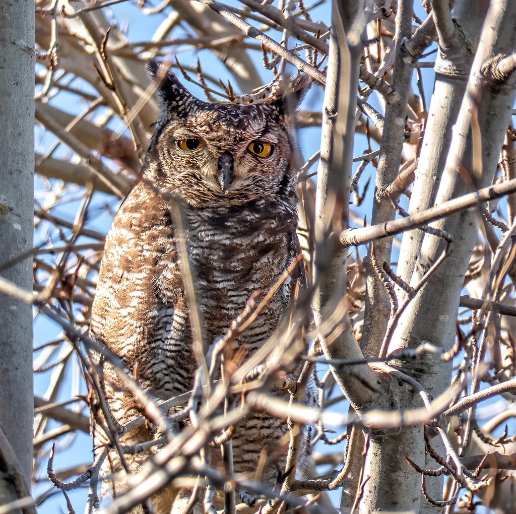 Spotted Eagle Owl by ludwigsdiana