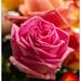 Paper Roses...