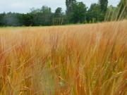 29th Jun 2020 - Barley field