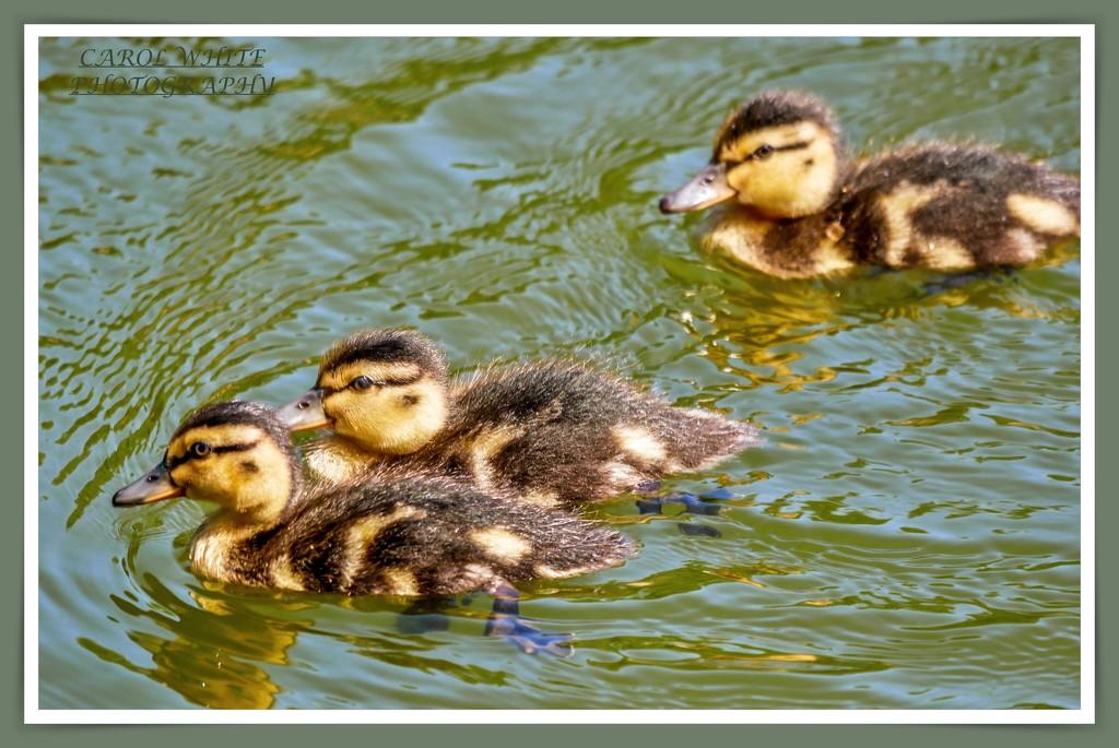 Three Little Ducklings by carolmw