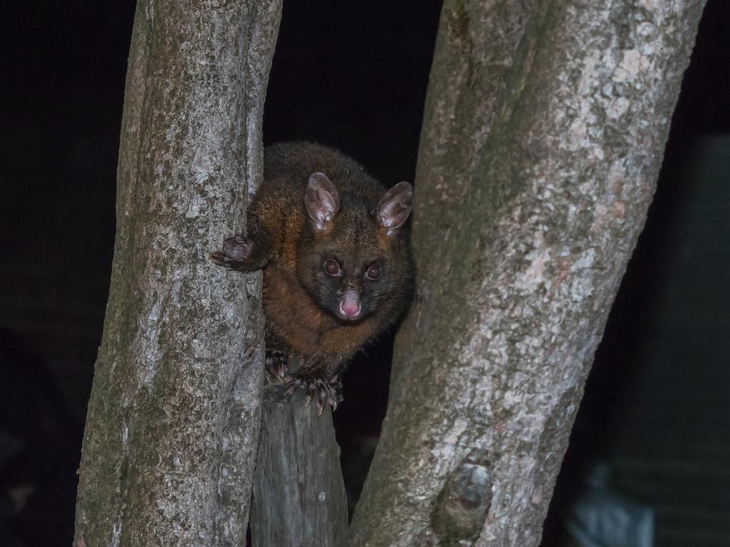 Possum by gosia