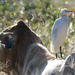Cattle Egret sitting on a cow
