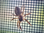 29th Jun 2020 - Jumping spider