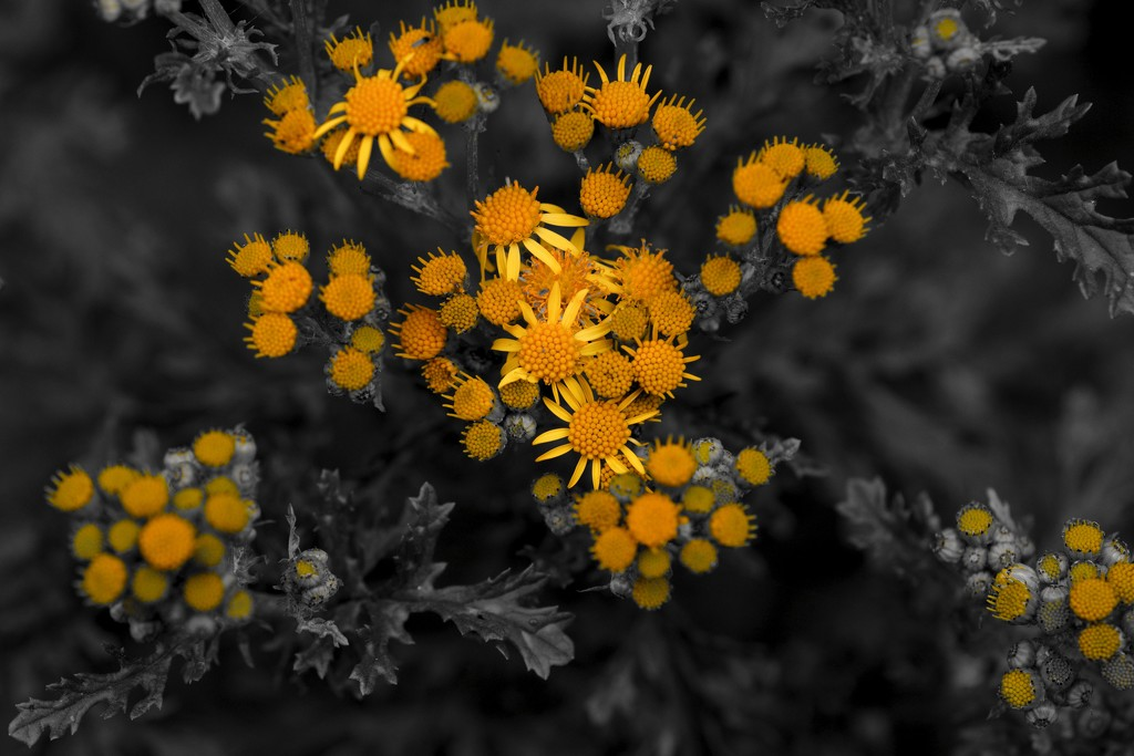 RAGWORT BEGINS TO BLOOM by markp