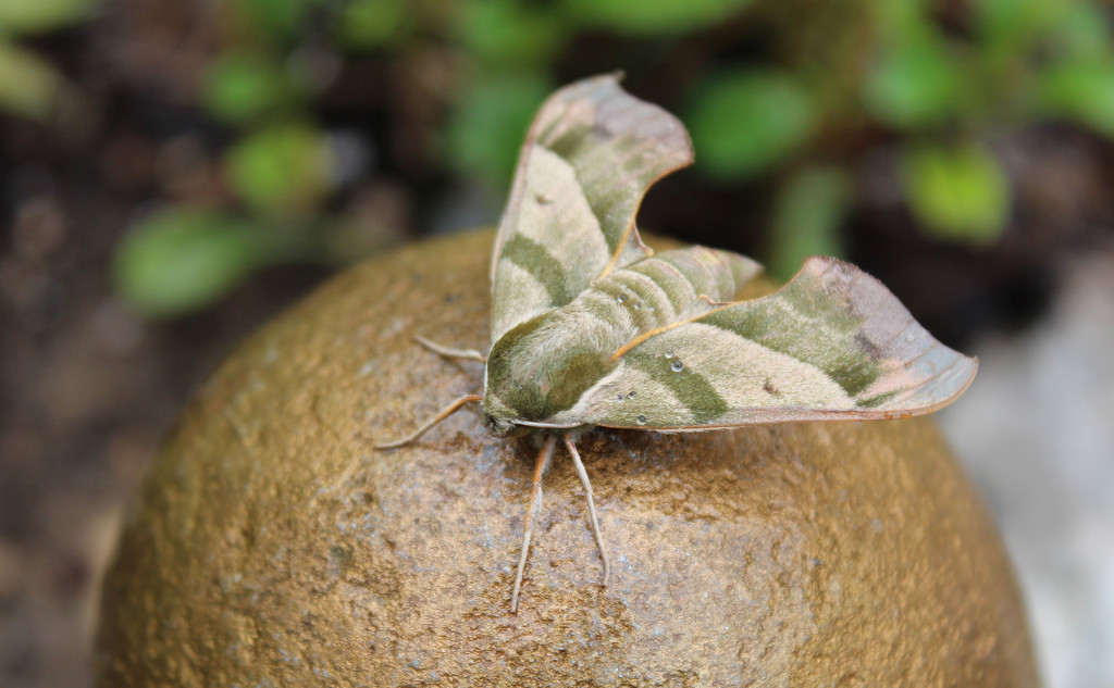 Lime Hawk-Moth by paintdipper