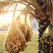Date harvesting season