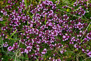 29th Jun 2020 - Wild Thyme