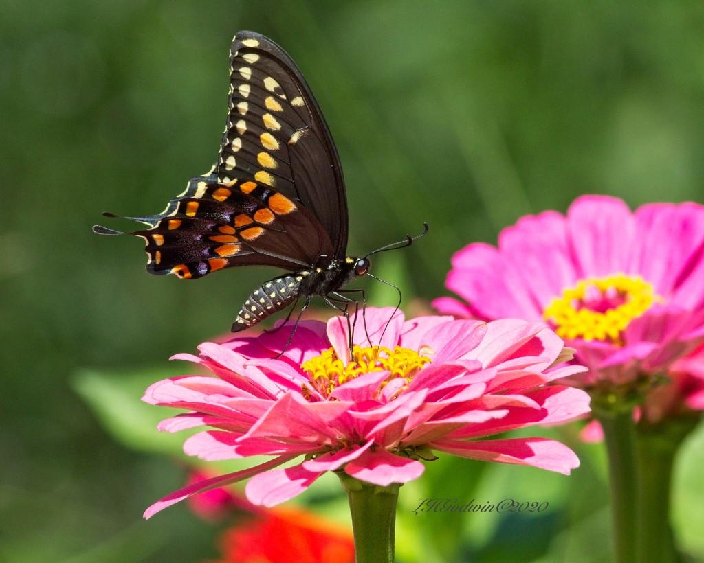 LHG-8665 Black Swallowtail on zinna by rontu